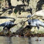 Seals, Cairns of Coll