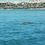 Whales seen in the mouth of Nehalem Bay (2 miles N)