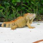 Iguana on the grounds