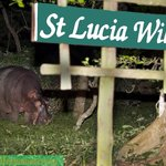 Hippo grazing behind name board