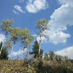 Aspen trees in September