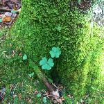 Looking for four-leaf clovers
