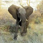 Young Male Elephant Posturing