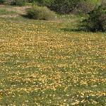 Fields of daisies