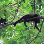 allesteds nærværende howler monkeys