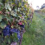 de druiven bij I Vigneti