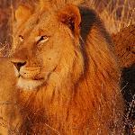 Lions at Madikwe
