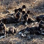 Wild Dogs aplenty
