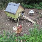 Chicken's