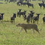 Looking for her pride, this lioness ignores the wildebeest