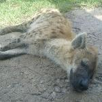 Another tired hyena