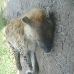Tired Hyena.