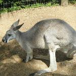 Another kangaroo
