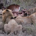 Lions feeding on a kill