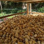 Corn drying for chilpa for the hotel restaurant