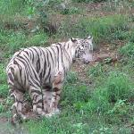 White tiger - the fame of Nandankanan