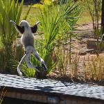 Leaping lemur!