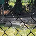 Crocodile feeding show