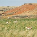 Mule Deer...