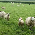 Observant sheep