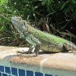 Friendly Iguana's