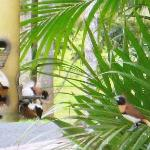 The Chestnut-breasted Mannikins feeding