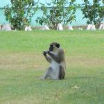 Very common to see the monkeys around the grounds.