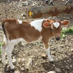 A young calf at the farm guests can visit.