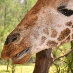 Giraffe at Haller park