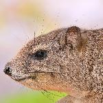 Hyrax at Ngulia Lodge.