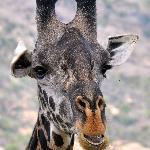 Male Giraffe close-up.