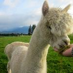 friendly alpaca
