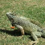 Iguana Feeding Time