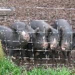 Four playful piglets
