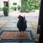 The friendly hen who called at our door every evening