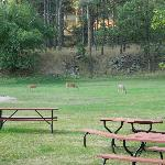 Deer in main yard