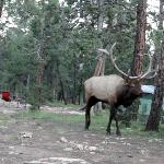 Still frame from the video I got of this HUGE elk walking through our site!