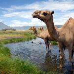 Camels cooling off in the oasis, the dinning tent and the volcano in the background.