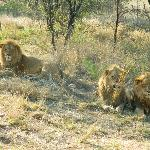 Some of the lions