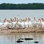 WHITE PELICANS OF THE ISLANDS