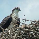 OSPREY  looking out for mate to bring food