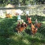 Chickens, I believe supplies the breakfast eggs