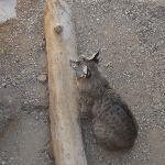 bobcat at museum