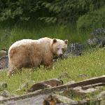 The Spirit (Kermode) Bear