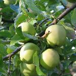 Green Apples from grounds
