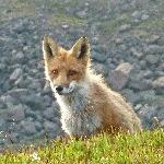 Fox in camp
