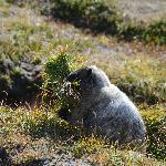 Marmot in September