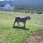 Mildred the goat
