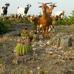 Goats of Anguilla near Elite