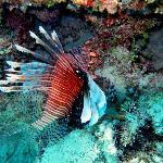 Lionfish on Uoleva Reef